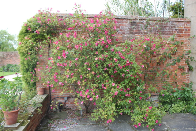 Rosa chinensis mutabilis - Page 2 Rosa_m10