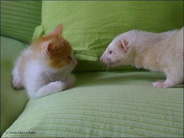TIPOTE mâle blanc et roux de 2 mois et demi  Image111