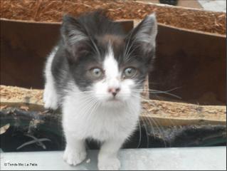 ZOÉ chatonne noire et blanche de 2 mois et demi  Zoe10