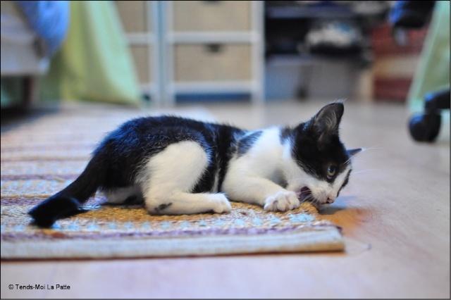 ZOÉ chatonne noire et blanche de 2 mois et demi  Zoe110