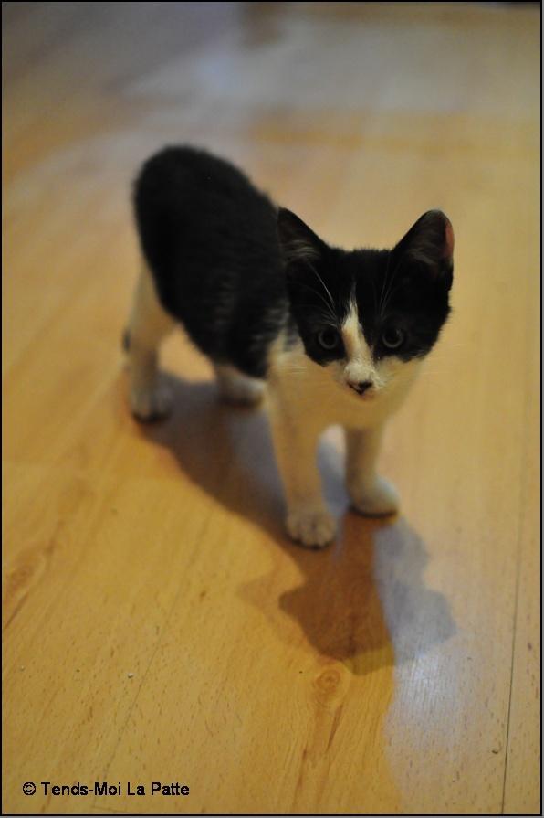 ZOÉ chatonne noire et blanche de 2 mois et demi  Zoe210