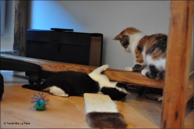 ZOÉ chatonne noire et blanche de 2 mois et demi  Zoe_si10