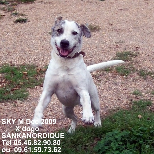 SKYE, X bull terrier&dogue argentin de 1 an - en pension (72) Skye_710