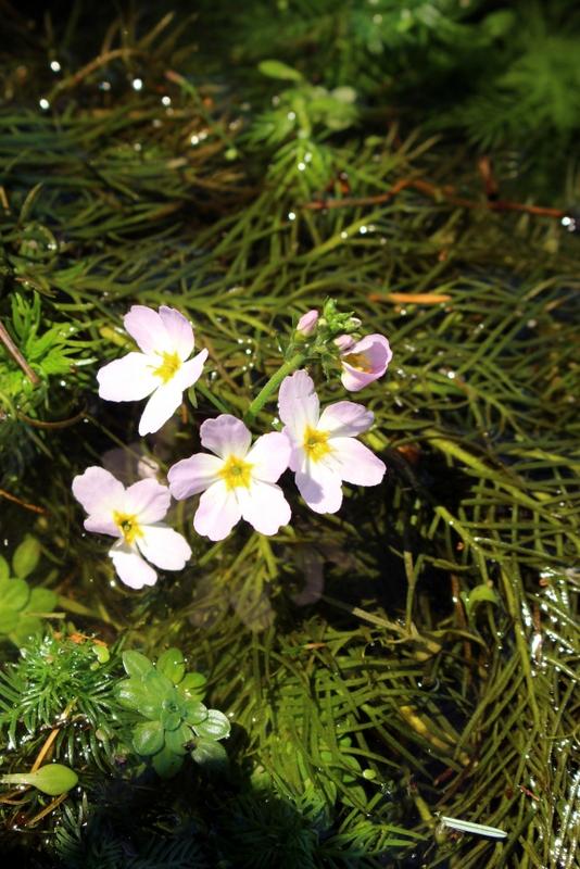Myriophyllum? - [Hottonia palustris] 1-img_14