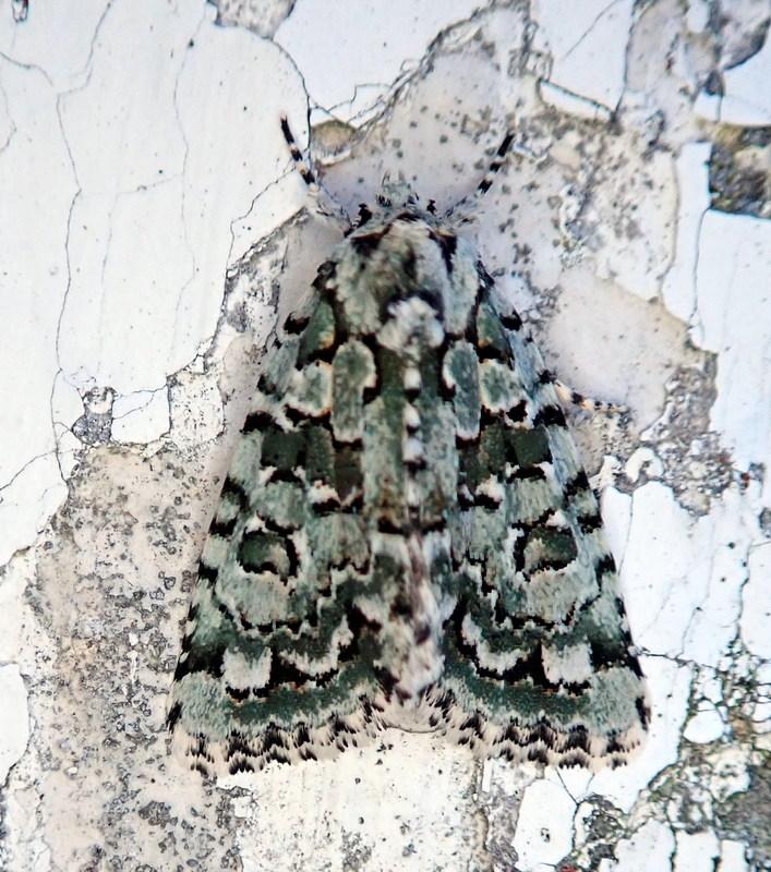 Cryphia na petra ta?[Cryphia muralis] 1-p81910