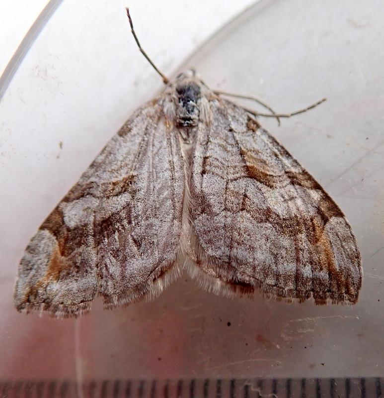 Papillon de la gare[Aplocera efformata] P4266010