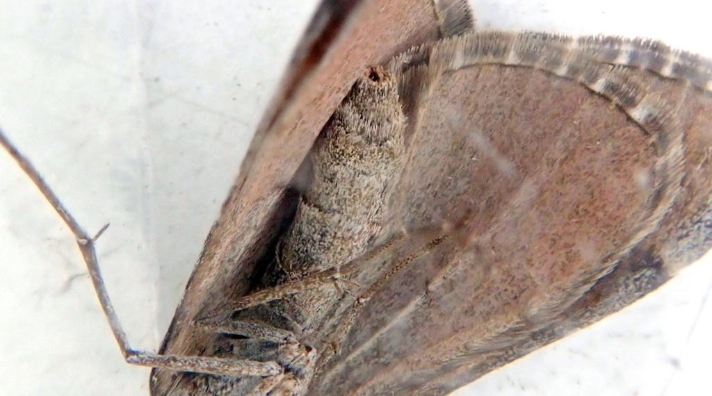 Papillon de la gare[Aplocera efformata] P4296010