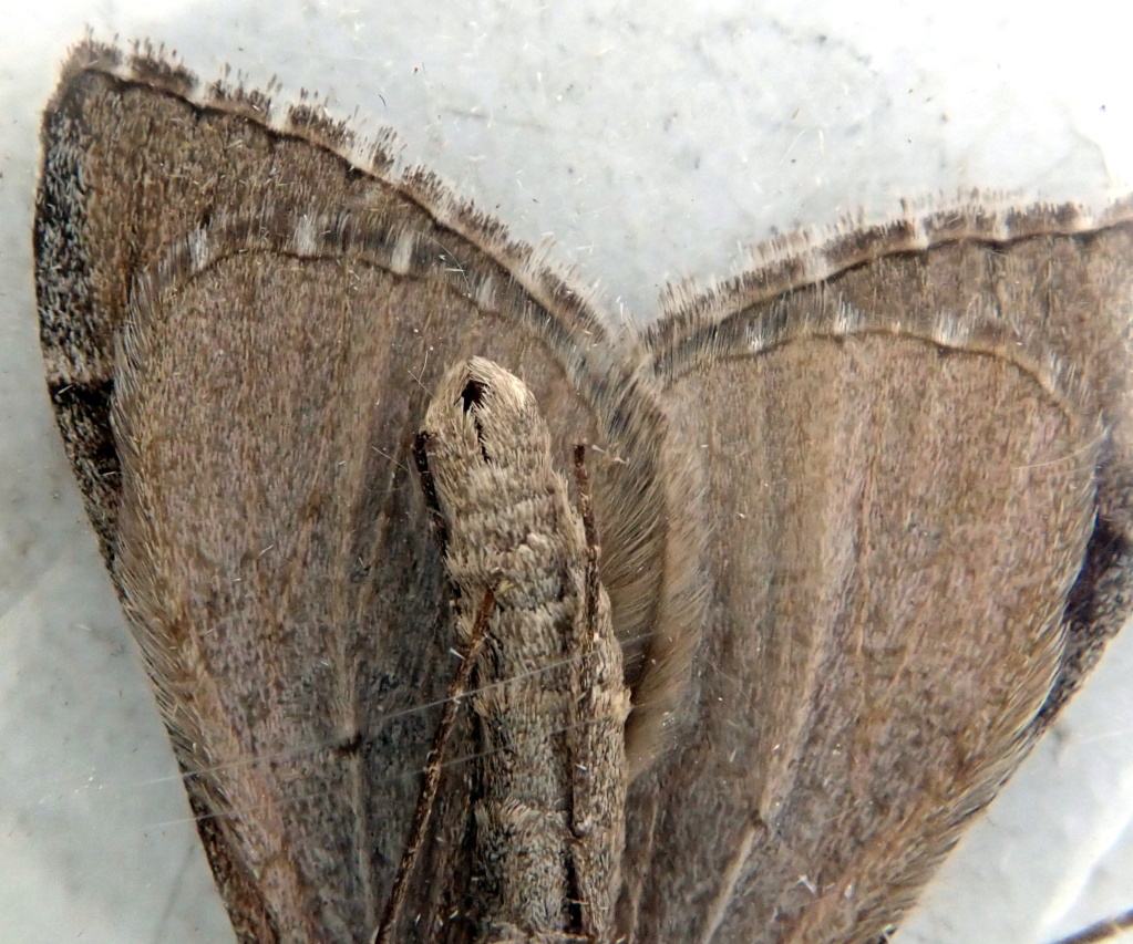 Papillon de la gare[Aplocera efformata] P4296012
