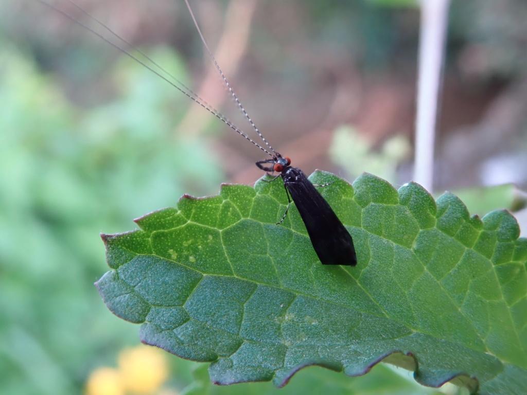 Trichoptère Mystacides-veuve noire? P8311110