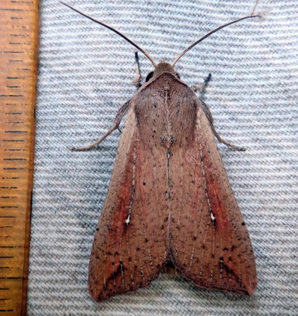 Mythimna unipuncta P9261210
