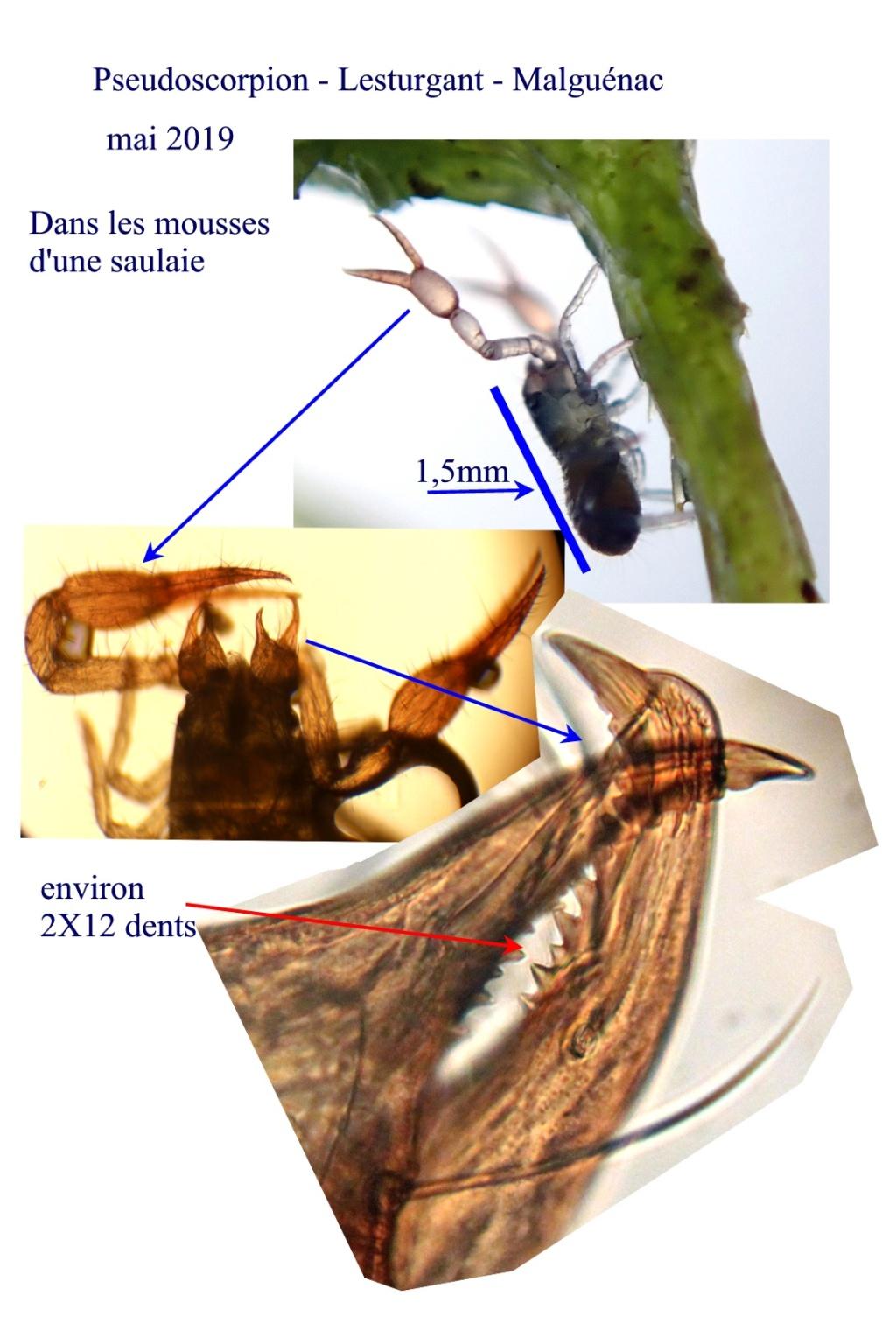 Acarien à pinces de crabe [Pseudoscorpion][Neobisium sp.] Pseudo10
