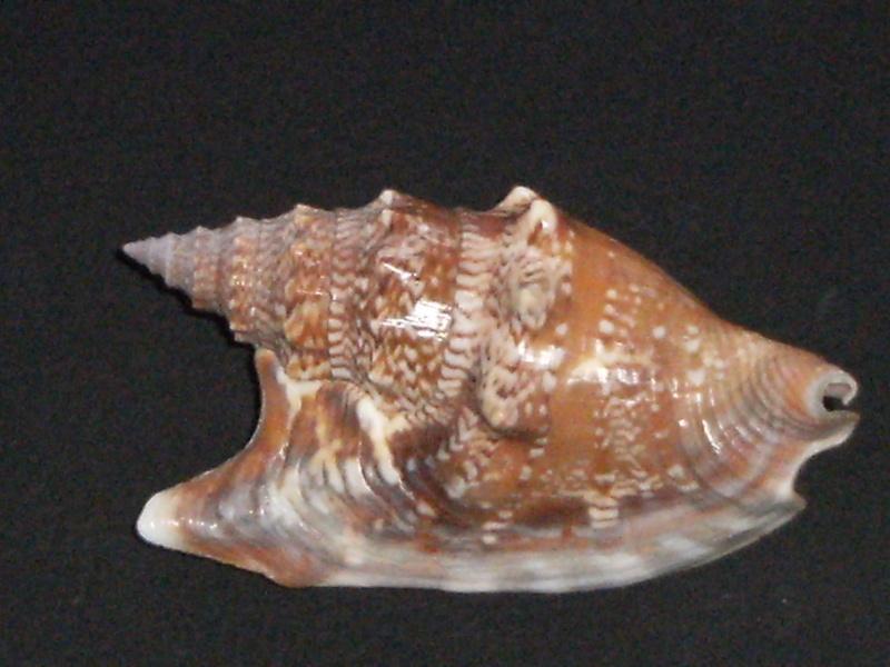 Euprotomus vomer - (Röding, 1798) Dscf1410
