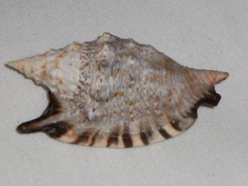 Euprotomus aratrum - (Röding, 1798) Dscf2410