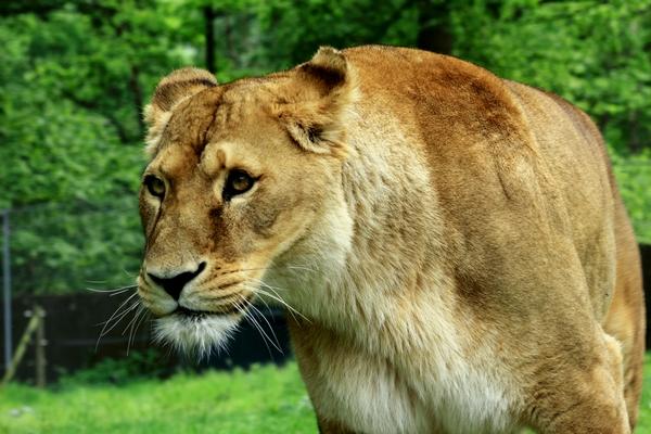 Le LION dans tous ses états 1_1_2352
