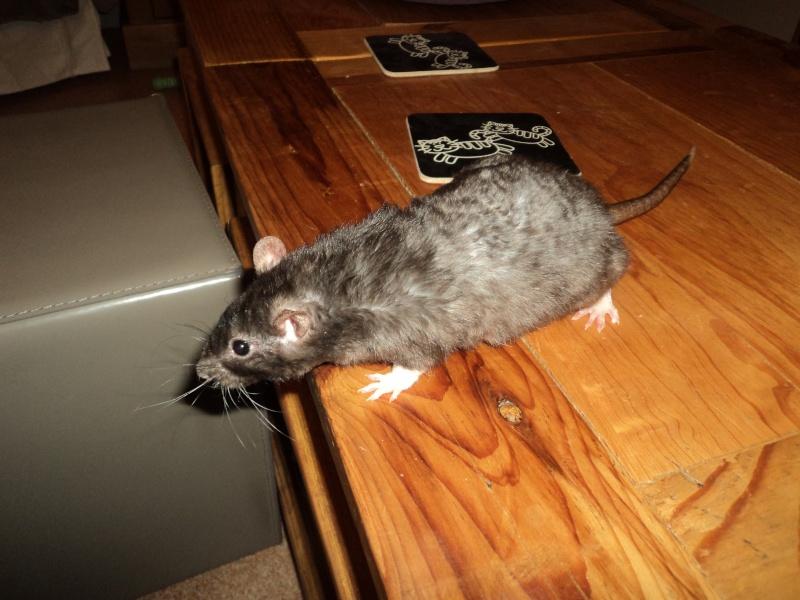 Mue chez des rats de 5 semaines, est-ce normal? Dsc03710