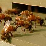 abeille dehors 8320710