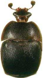 scarabée noir  Aethin10