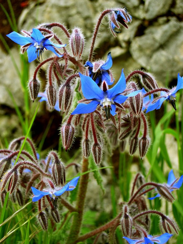 Connaissez-vous cette fleur? (Bourrache, merci) Bourra10