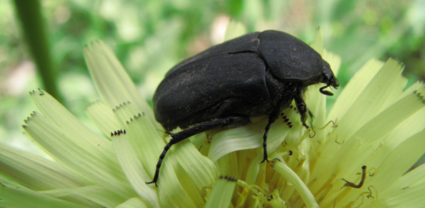 scarabée noir  Jpg_0210