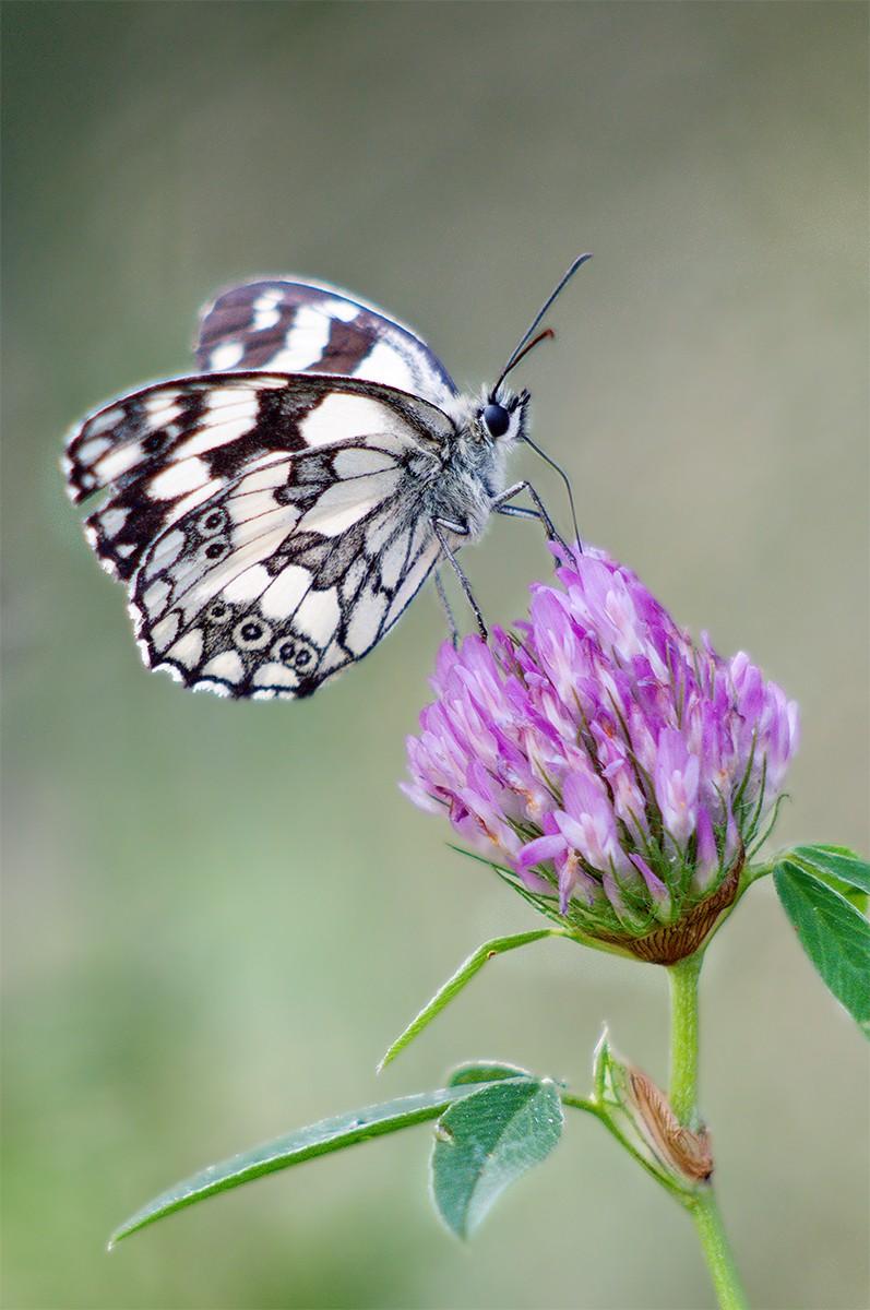 Galathea melanargia _dsc9411