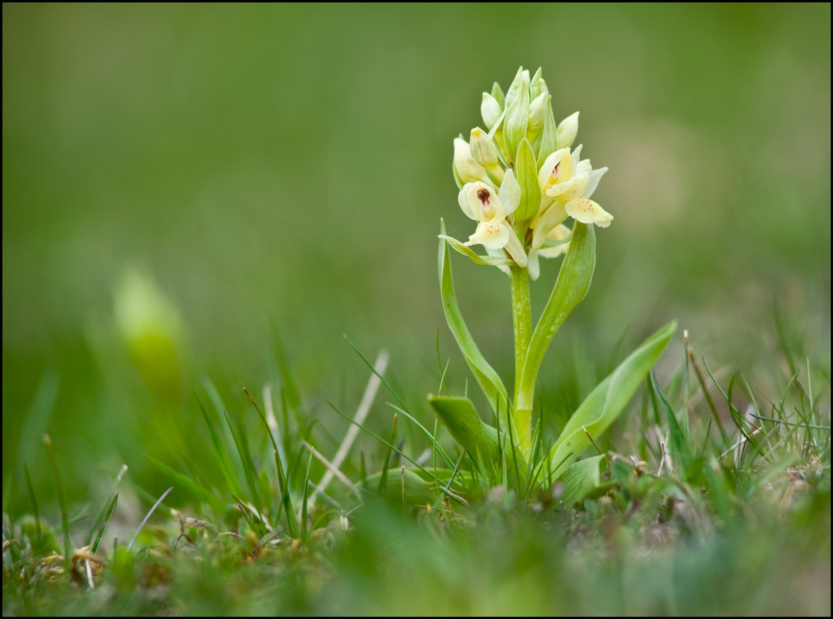 Provincialis ? Orchis10