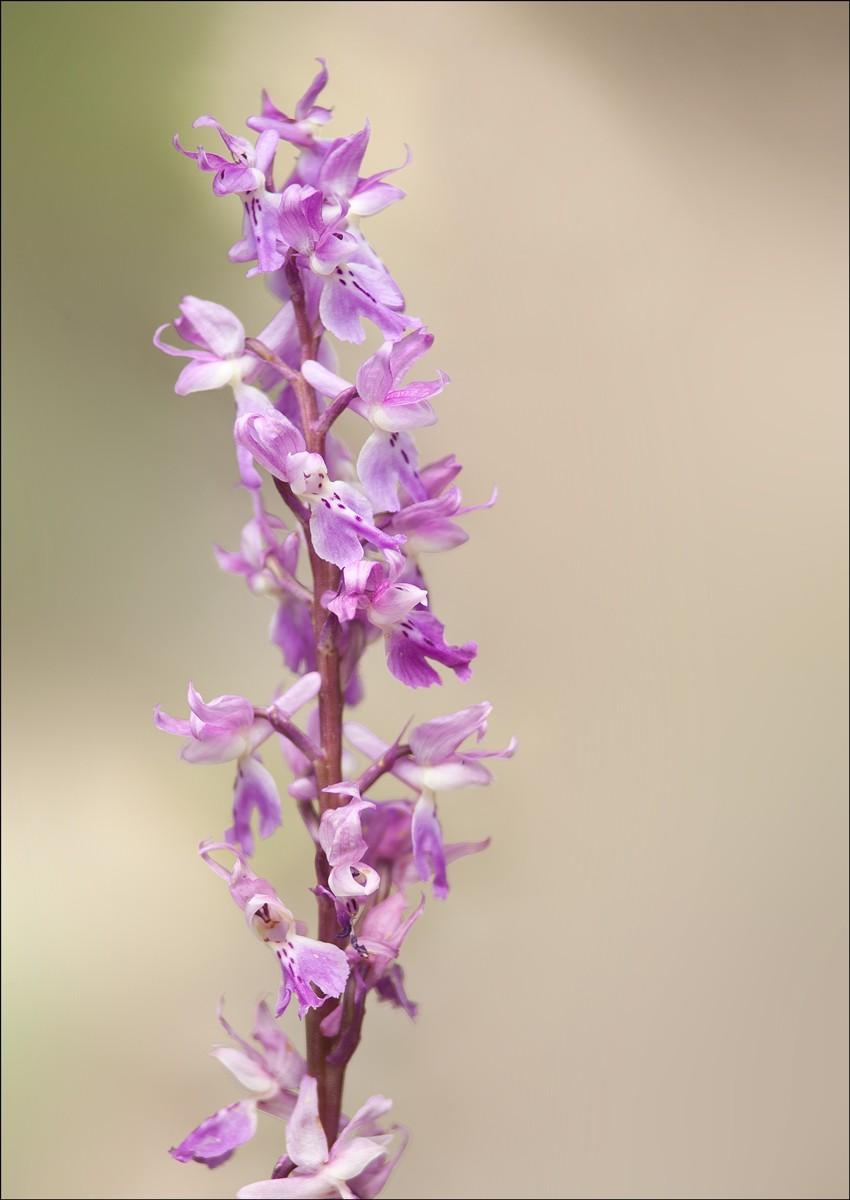 Orchidea...? Pelleg10