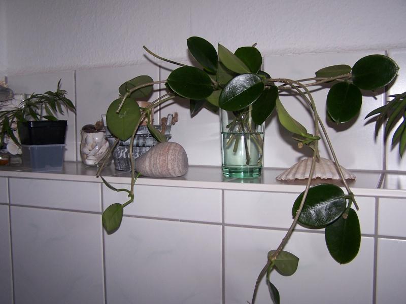 Hoya australis Austra19