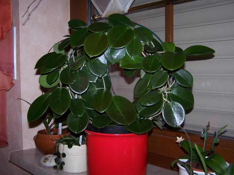 Hoya australis Hoya_a12