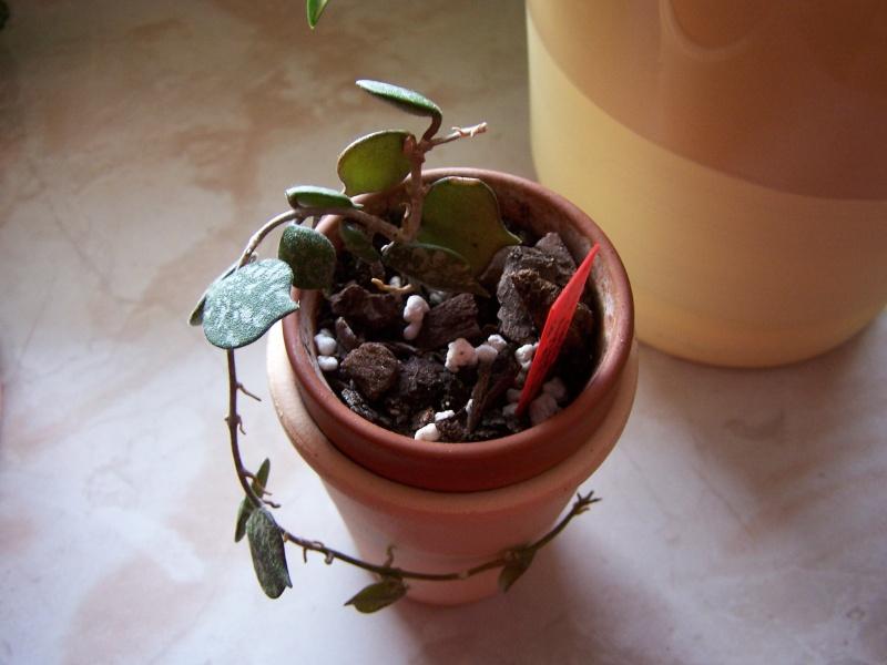 Hoya curtisii Hoya_c10
