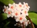 Hoyablüten 2012 - Seite 2 Dsc01010