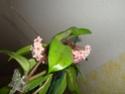 Hoyablüten 2012 - Seite 2 Dsc01011