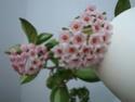 Hoyablüten 2012 - Seite 2 Dsc01012