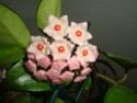 Hoya carnosa Dsc01013
