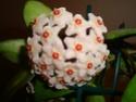 Hoya carnosa Dsc01014