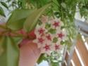 Hoyablüten 2012 - Seite 3 Dsc01110