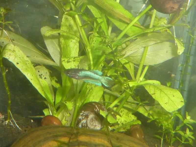 Mâle Copper SD VL x Femelle Bleue electrique SD  01814