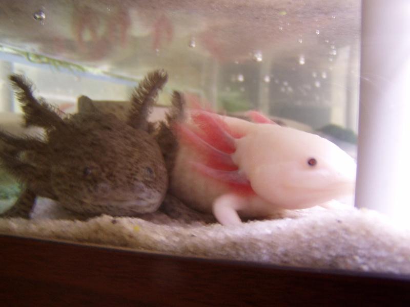 le bac des axolotls - Page 2 Forum_43
