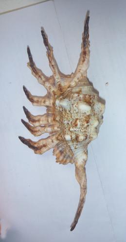Lambis scorpius indomaris - Abbott, 1961 Lambis11