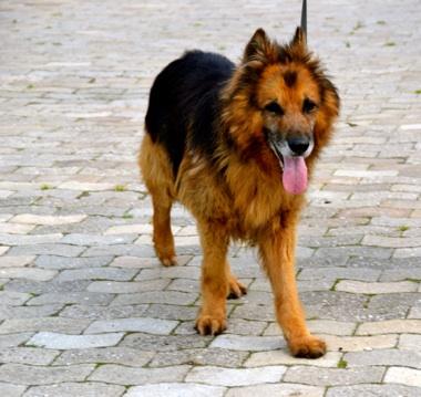 Nouvelle des chiens partis en juin 2012 Erki_510