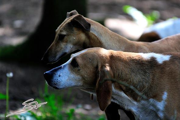 Nouvelles chiens partis le 29 juillet pour l'Allemagne Ramses11