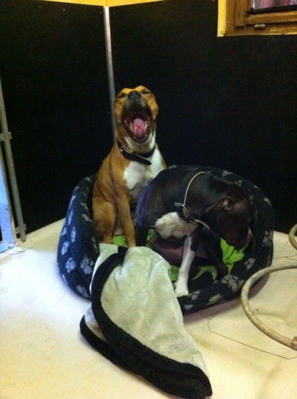Nouvelles des chiens partis le 1er décembre pour l'Allemagne T-rex10