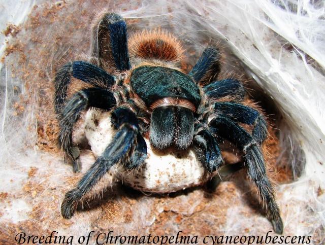 Chromatopelma cyaneopubescens Img_3813