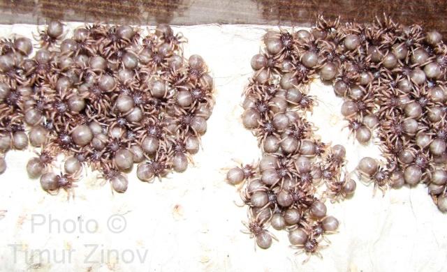 Chromatopelma cyaneopubescens Img_4011