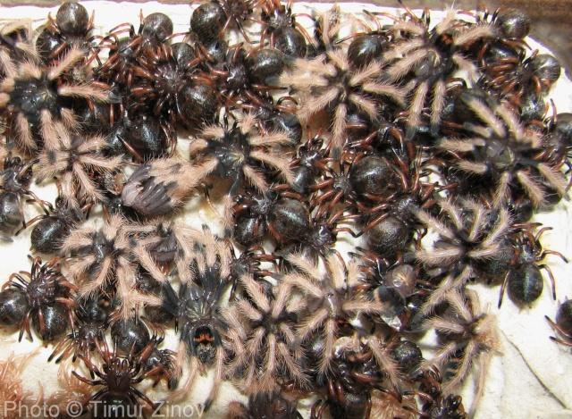 Chromatopelma cyaneopubescens Img_4013