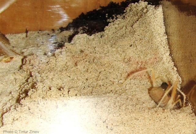 """Galeodes sp. """"Egypt"""" Img_4419"""