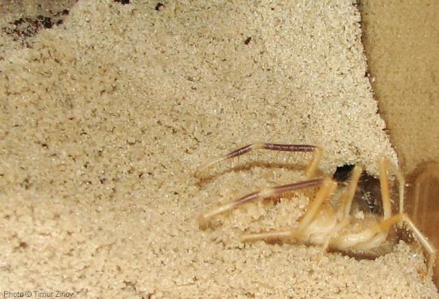"""Galeodes sp. """"Egypt"""" Img_4432"""