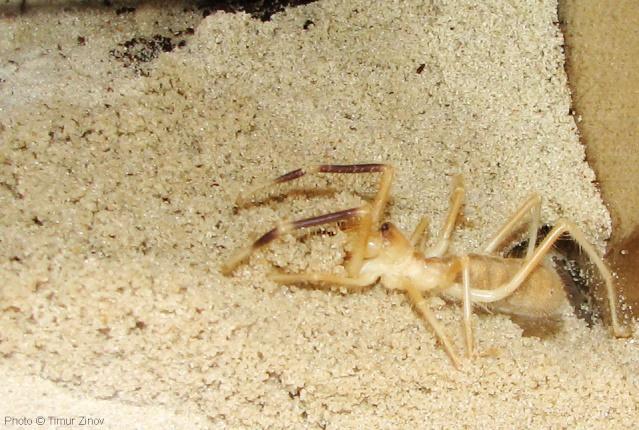 """Galeodes sp. """"Egypt"""" Img_4433"""