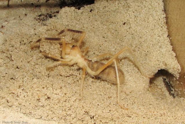 """Galeodes sp. """"Egypt"""" Img_4435"""