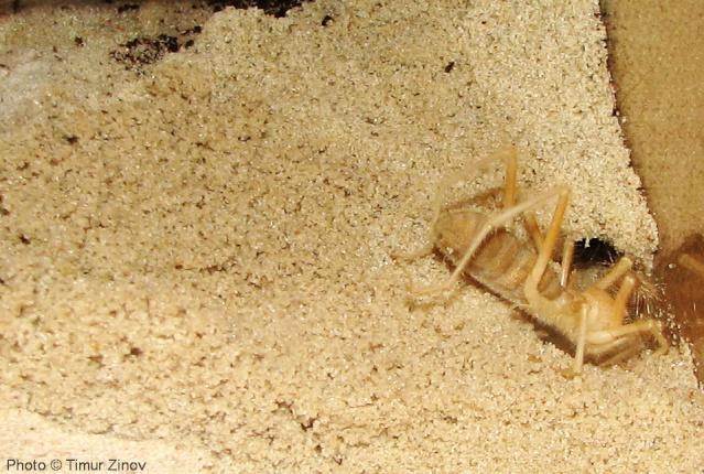 """Galeodes sp. """"Egypt"""" Img_4439"""