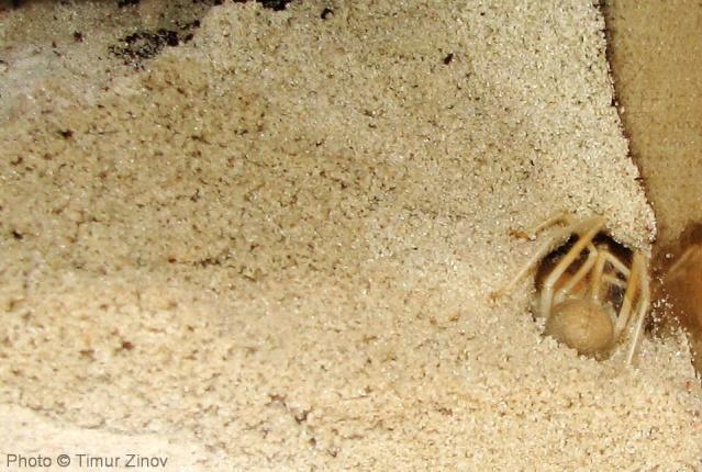 """Galeodes sp. """"Egypt"""" Img_4440"""